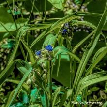 180-Square-Blue-Spiderwort-06242019_111B