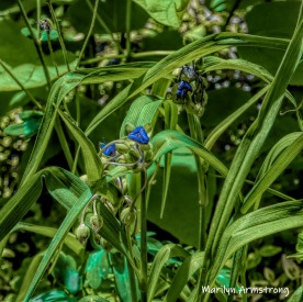 180-Square-Blue-Spiderwort-06242019_111B