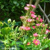 180-Square-Dark-Pink-July-Roses-07102019_021