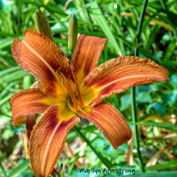 180-Square-Daylily-1-07012019_103