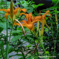 180-Square-New-July-Daylilies-07102019_010