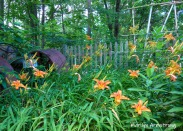 More bud and daylilies -- and part of the tractor