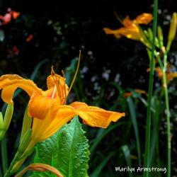 1800-Square-July-Daylilies-07102019_009