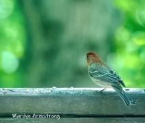 300-housefinch-std2-birds-2-06092019_016