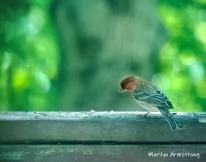 300-housefinch-std2-birds-2-06092019_017