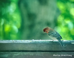 300-housefinch-std2-birds-2-06092019_017