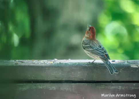 300-housefinch-std2-birds-2-06092019_018