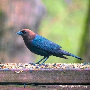 Brown-Headed Cowbird on the fence