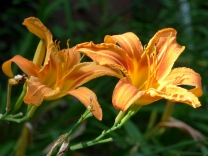 A perfect pair of Daylilies