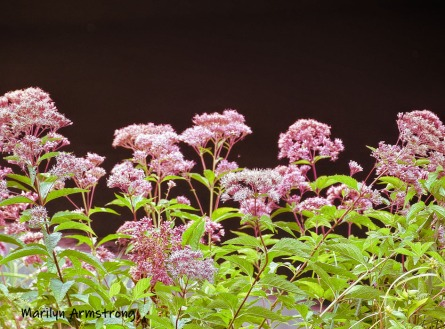 180-Pink-Water-Flowers-Mar-RI-Blackstone-08252019_151