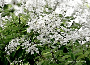 180-Puffy-White-Flowers-Mar-RI-Blackstone-08252019_108