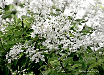 180-Puffy-White-Flowers-Mar-RI-Blackstone-08252019_108