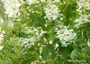 180-White-Flowers-Mar-RI-Blackstone-08252019_109