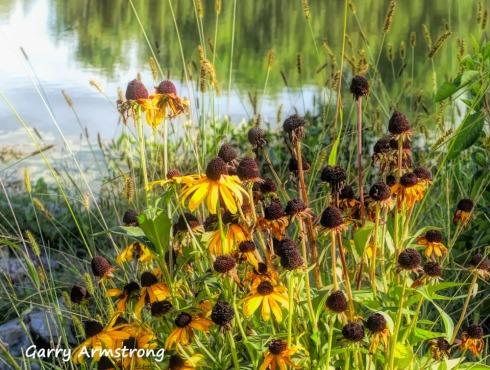 180-Black-Eyed-Susans-Mid-Sept-River-Bend-Gar_09172019_055