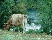 Calf by the river