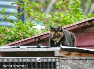 180-Cat-On-Roof-MAR-Farm-Sept-09262019_135