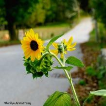 180-Square-Sunflower-Road-MAR-Farm-Sept-09262019_113