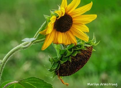 180-Sunflower-MAR-Farm-Sept-09262019_101