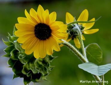 180-Sunflower-MAR-Farm-Sept-09262019_106