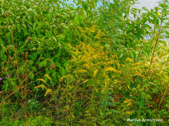 300-goldenrod-mid-sept-river-bend-mar-09182019_244