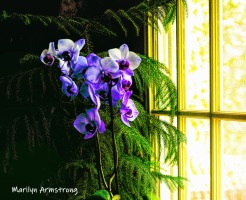 300-more-purple-orchids-09152019_001.