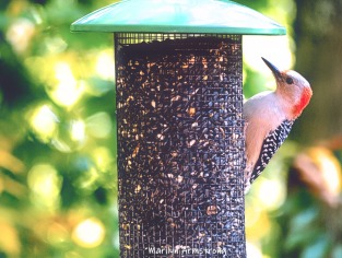 300-red-belly-woodpecker-new-seed-birds-2-09252019_115