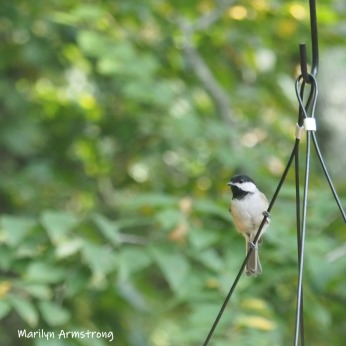 300-square-chickadee-birds-1-09232019_003