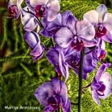 300-square-purple-orchids-09272019_023