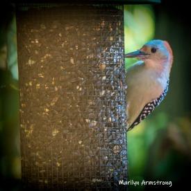 300-square-vignette-woodpecker-new-seed-birds-2-09252019_124