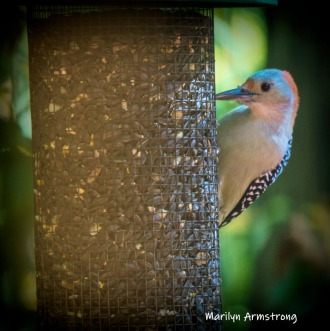 300-square-vignette-woodpecker-new-seed-birds-2-09252019_124