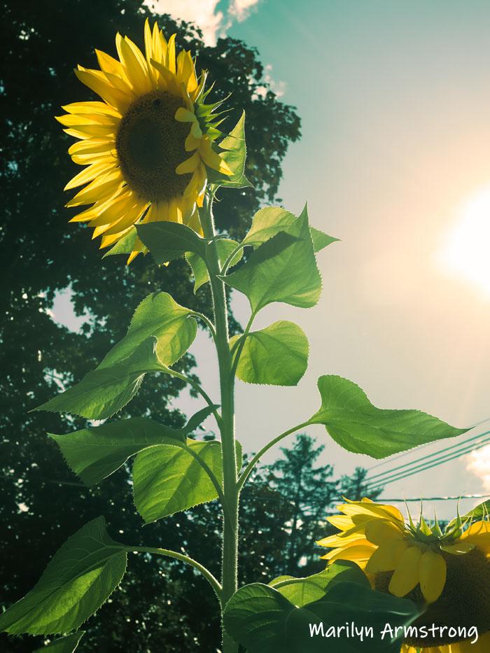300-sunflower-beautiful-garden-09172019_202