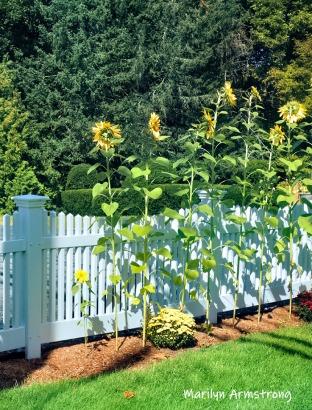 300-sunflowers-beautiful-garden-09172019_219
