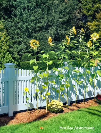 300-sunflowers-beautiful-garden-09172019_219