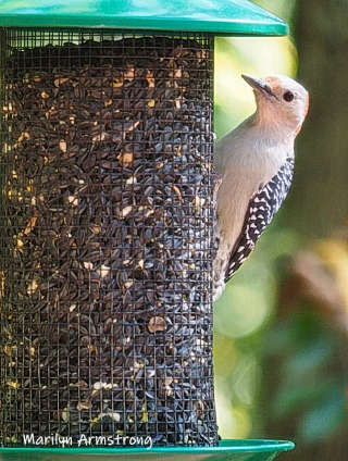300-vertical-woodpecker-new-seed-birds-2-09252019_116