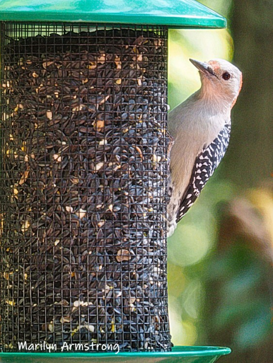 300-vertical-woodpecker-new-seed-birds-2-09252019_116