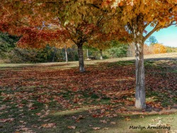 Maple trees in late October at River Bend