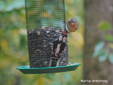 Hairy Woodpecker and a Carolina Wren