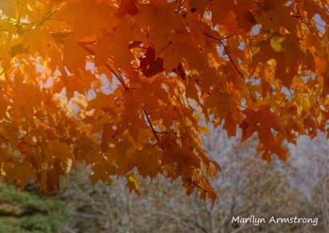 180-Hot-Maple-Sunshine-River-Bend-Autumn-Mar-20191021_053