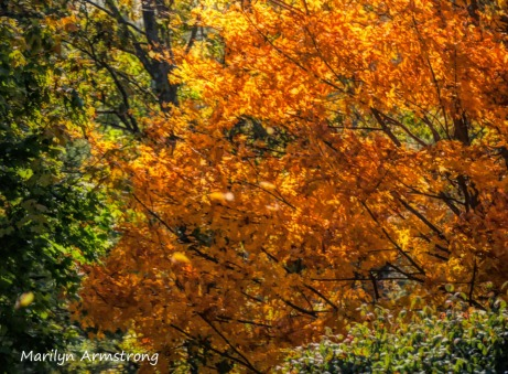 180-Maples at River-Bend-Autumn-Mar-20191021_059