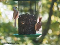300-carolina-wren-titmouse-birds_10-5_10052019_004