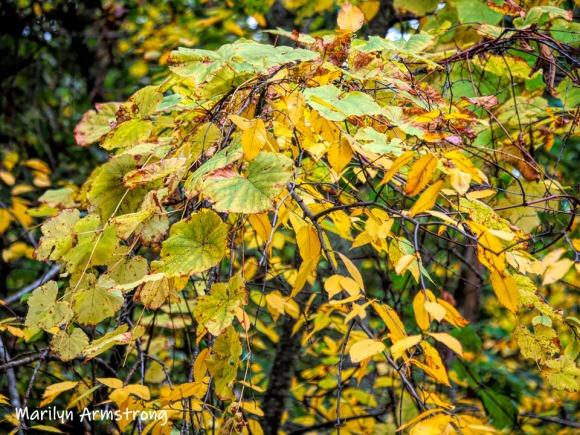 300-golden-vines-foliage-20191016_216