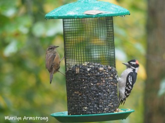 One more of the sparrow and this time, I think a Downy Woodpecker.