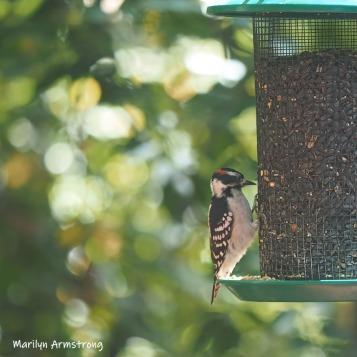 300-mad-confusion-of-birds-downy-woodpecker-09272019_01