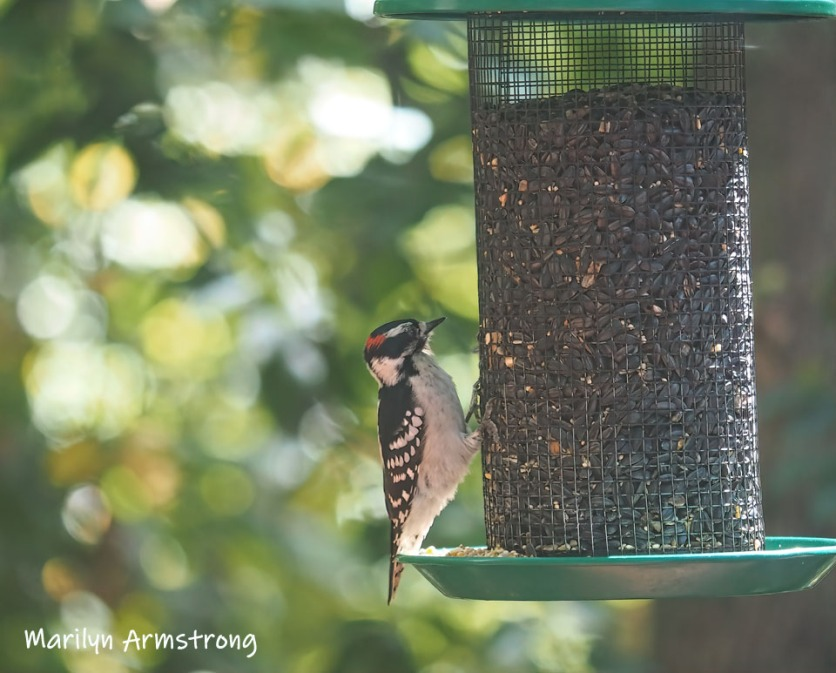 300-mad-confusion-of-birds-downy-woodpecker-09272019_013
