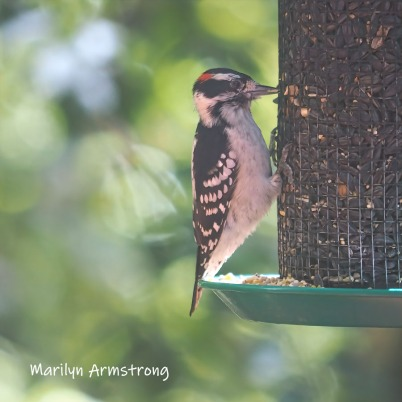 300-mad-confusion-of-birds-hairy-woodpecker-09272019_011
