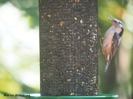 300-mad-confusion-of-birds-nuthatch-09272019_00