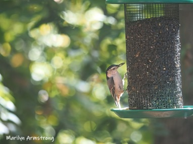 300-mad-confusion-of-birds-nuthatch-09272019_019