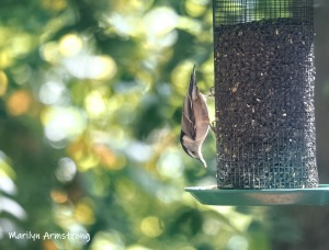 300-mad-confusion-of-birds-nuthatch-09272019_020
