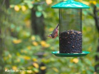 300-rose-breasted-nuthatch-brds_10