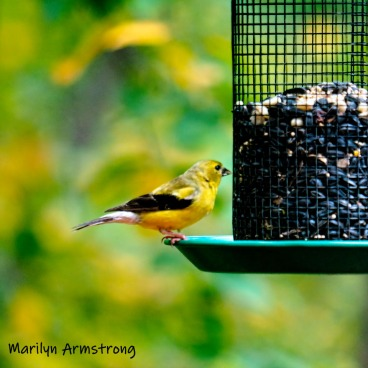 Goldfinch is back